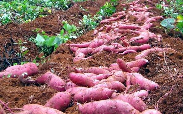 Nông dân miền Tây lại điêu đứng vì khoai lang rớt giá