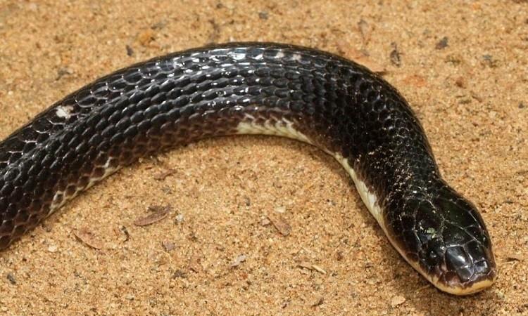 Rắn cạp nia là một trong tứ đại rắn độc ở Ấn Độ. Ảnh: Wikipedia.