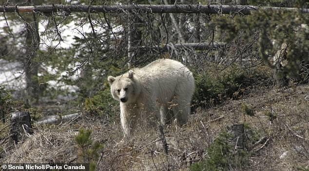 Gấu xám Bắc Mỹ có bộ lông trắng như tuyết cực kỳ quý hiếm xuất hiện ở Canada