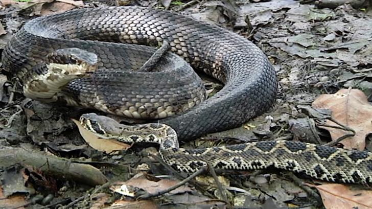 Cuộc chiến sinh tồn giữa 2 loài rắn độc nhất nước Mỹ