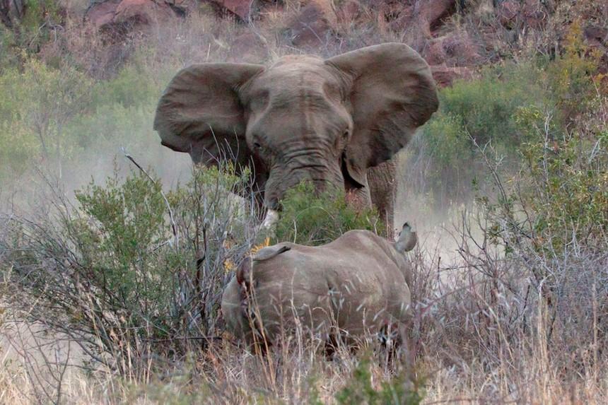 Bảo vệ miếng ăn, chú voi quyết chiến 3 con tê giác