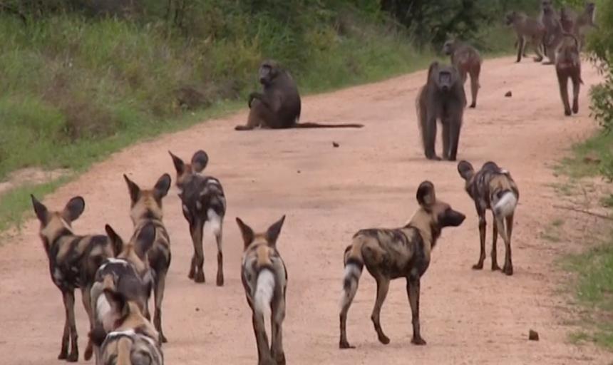 """Bang hội tranh đấu: Khi đàn chó hoang thiện chiến """"va"""" phải đàn khỉ đầu chó hung hăng"""