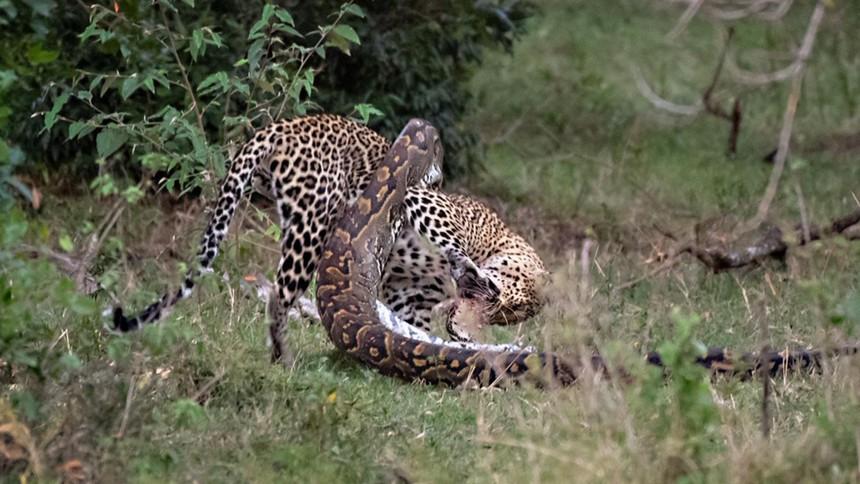 Báo hoa mai suýt bỏ mạng vì chọn trăn đá châu Phi khổng lồ làm con mồi đi săn