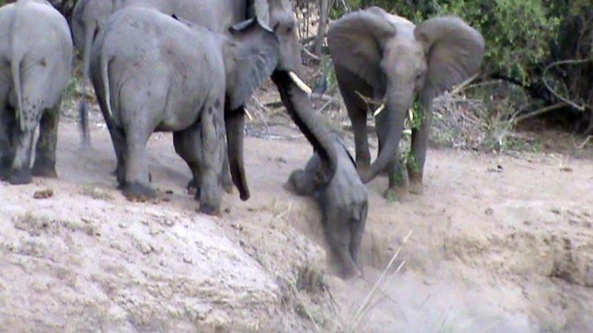 Đoàn kết như voi, cả đàn xúm lại giúp đỡ chú voi nhỏ leo dốc