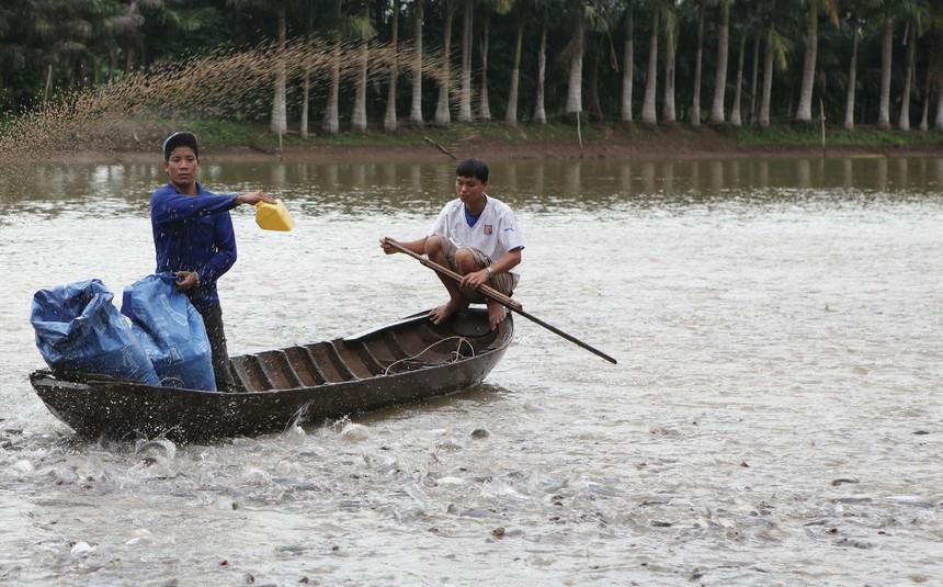 Các doanh nghiệp thủy sản đang nhìn thấy rõ ảnh hưởng của việc giá thức ăn chăn nuôi tăng. Ảnh Dũng Minh