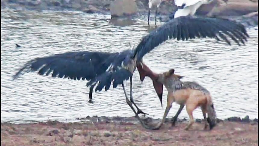 Cuộc chiến sinh tồn khốc liệt giữa chó rừng và cò marabou khổng lồ