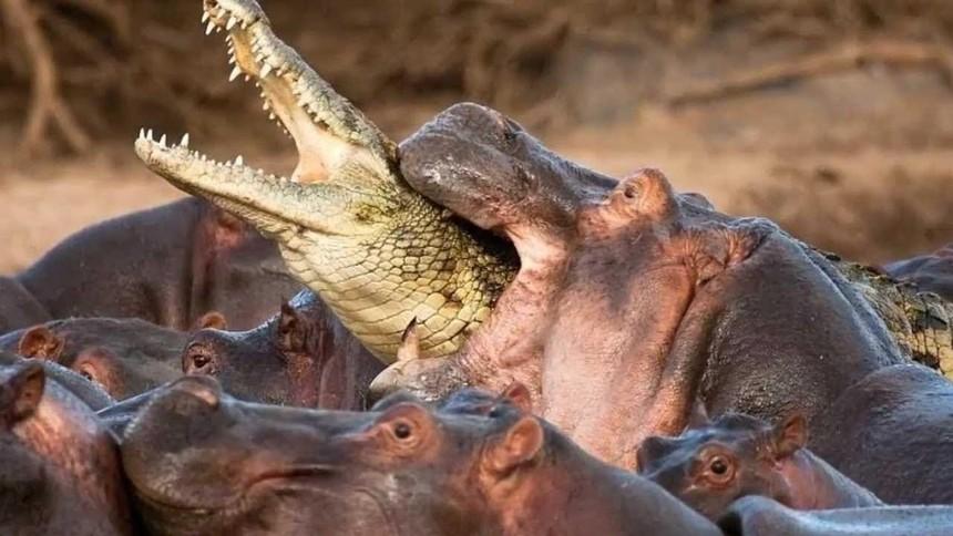 """Ông vua đầm lầy - cá sấu bị đàn hà mã điên cuồng """"làm gỏi"""""""