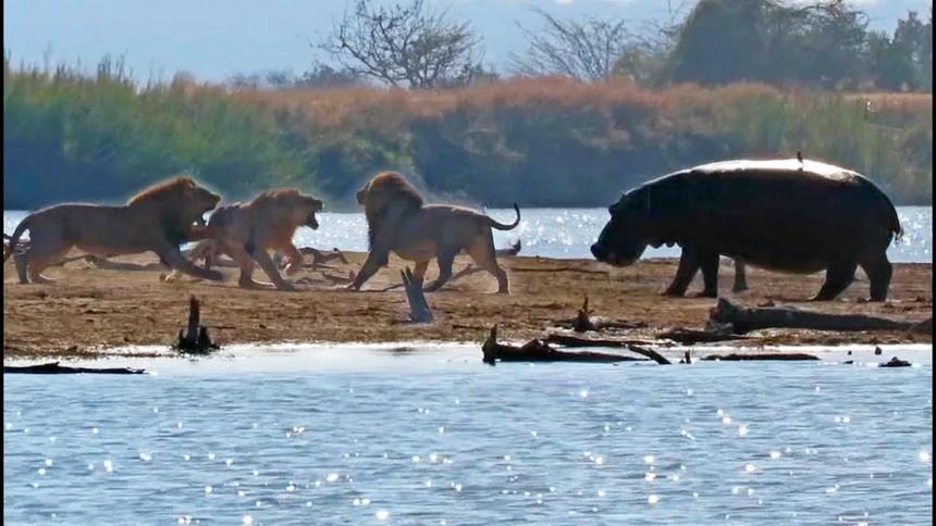 Bức xúc trước màn trừng phạt tàn bạo của nhóm sư tử, cả đàn voi lẫn hà mã xông vào can ngăn