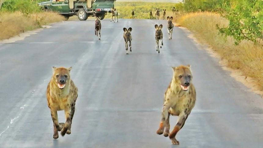 Điều gì sẽ xảy ra khi đàn linh cẩu đối đầu với đàn chó hoang thiện chiến hơn 20 con?