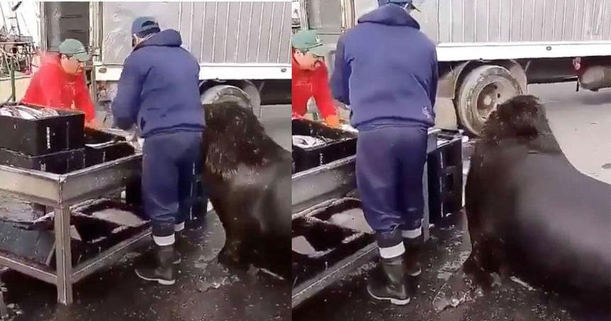 """Chú sư tử biển sử dụng tuyệt chiêu để """"không làm mà vẫn có ăn"""""""