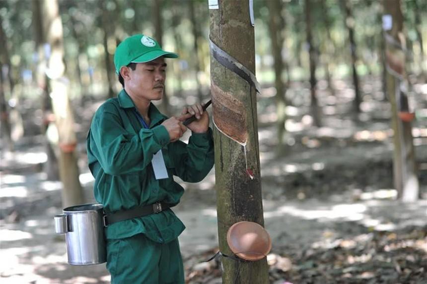 GVR nắm trong tay 402.650 ha cao su tại Việt Nam, Lào và Campuchia. Ảnh Internet
