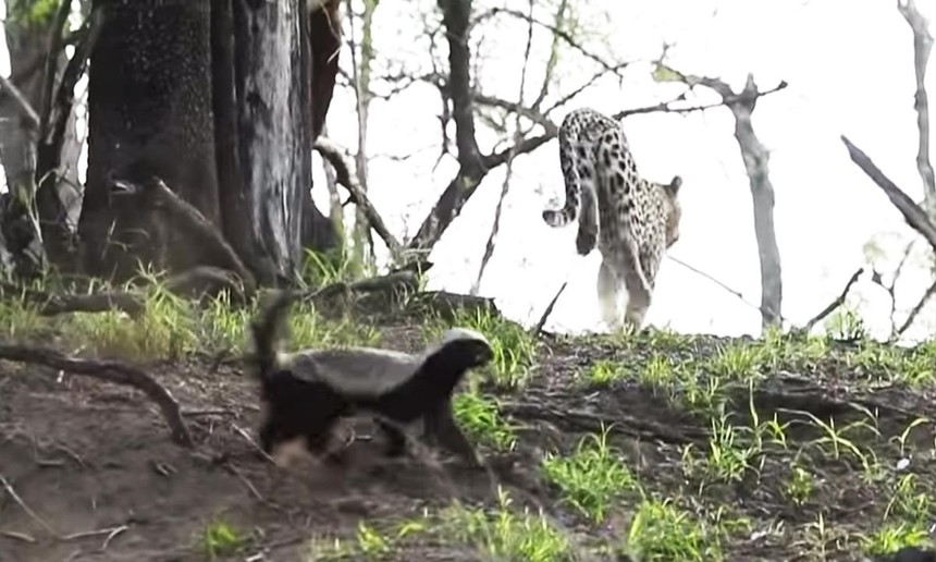 Lỡ tấn công phải con của loài lì lợm nhất thế giới động vật, báo hoa mai bị ăn đòn đau