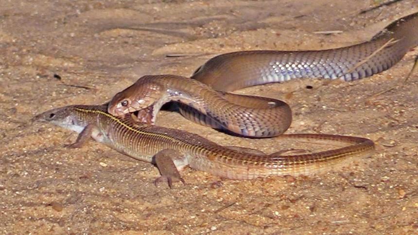 Rắn hổ mang chúa thể hiện bản năng sát thủ hàng đầu khi đi săn thằn lằn