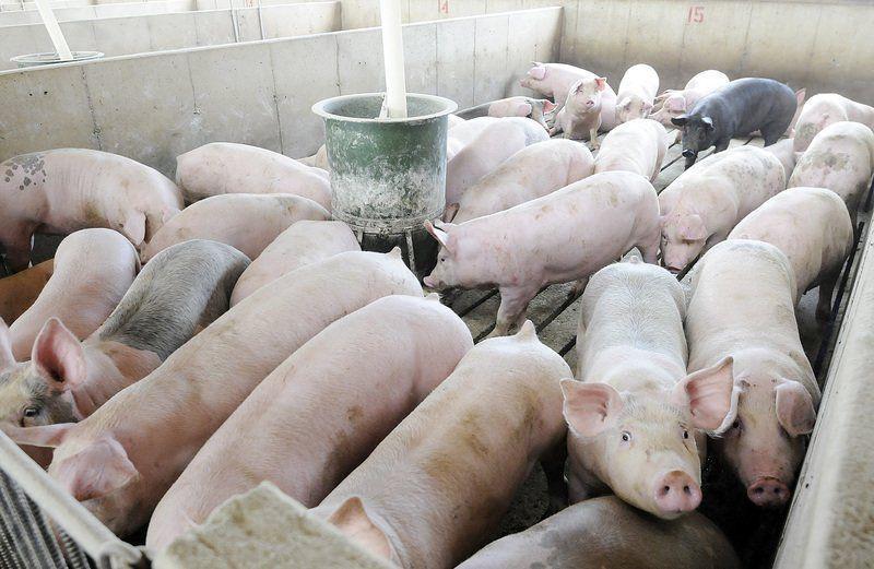 Chăn nuôi heo mang lại cho HAGL 94 tỷ đồng lãi gộp.