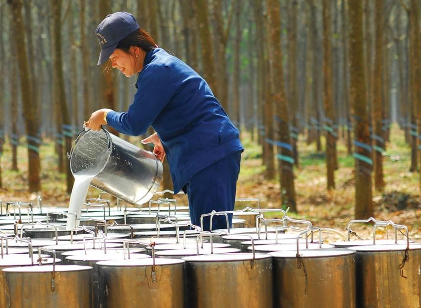 Cao su là mặt hàng tăng trưởng mạnh nhất trong các mặt hàng nông, lâm, thủy sản xuất khẩu. Ảnh: Dũng Minh.