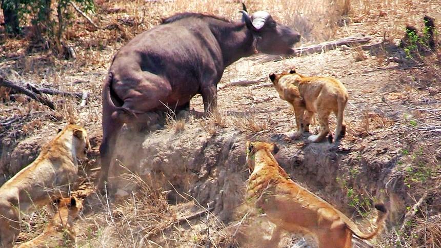 Nhờ vào sức mạnh của sự đoàn kết, đàn trâu rừng hết lần này đến lần khác chặn đứng đòn tấn công của bầy sư tử