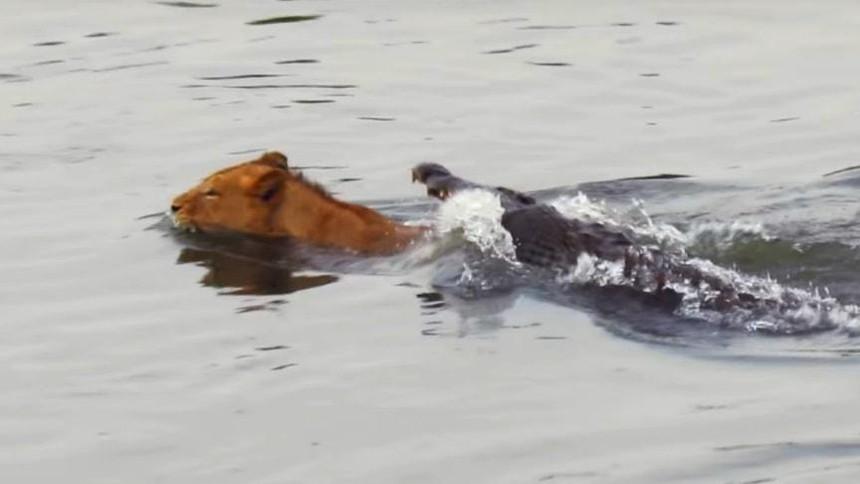 Liều lĩnh bơi qua sông, sư tử suýt trở thành bữa ăn cho cá sấu