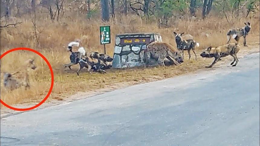 Linh cẩu liều chết đối đầu với đàn chó hoang để bảo vệ thân xác con nhỏ và pha lật kèo cực kỳ ngoạn mục vào phút cuối
