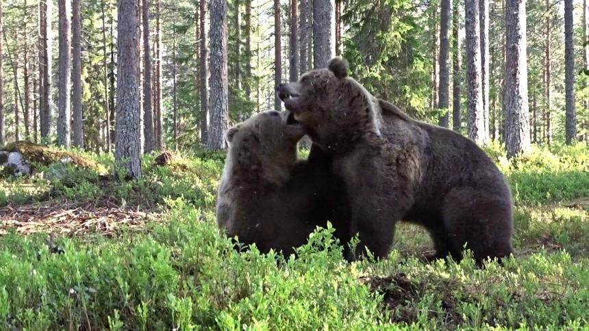 Trận ác chiến rung chuyển núi rừng của hai con gấu nâu to lớn