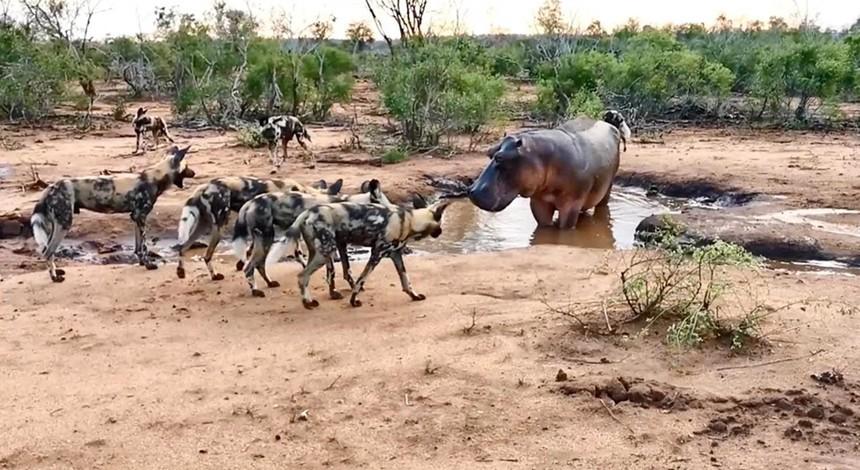 """Đàn chó hoang ảo tưởng sức mạnh, thách thức cả loài động vật hoang dã """"cục súc"""" nhất châu Phi"""