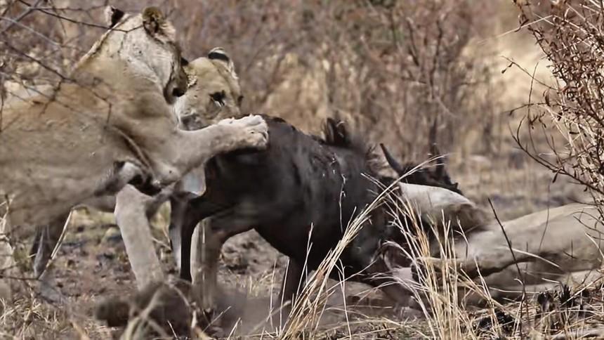 Nỗ lực không biết mệt mỏi, đấu tranh cho sự sống còn của linh dương đầu bò trước móng vuốt của bầy sư tử