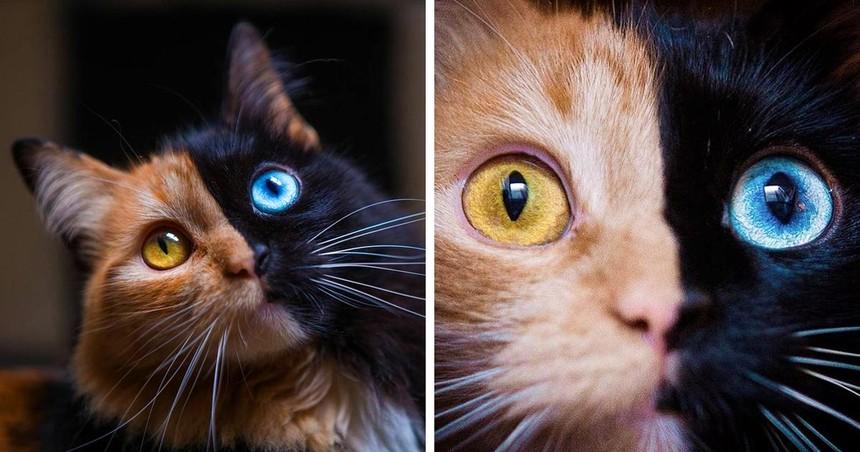 Chú mèo có vẻ đẹp kỳ lạ, khuôn mặt như được dung hợp từ hai con mèo khác nhau