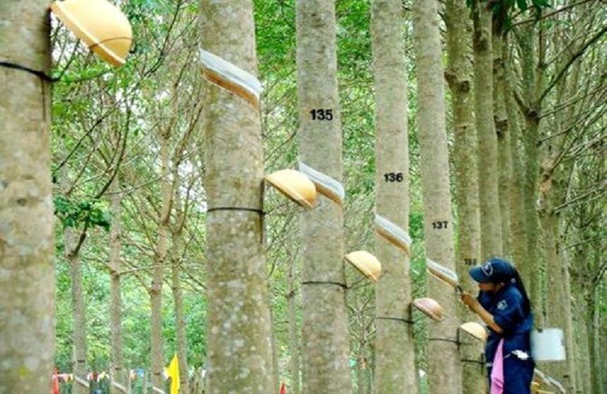 Tập đoàn Công nghiệp Cao su Việt Nam (GVR) đặt kế hoạch lợi nhuận năm 2021 giảm 12%