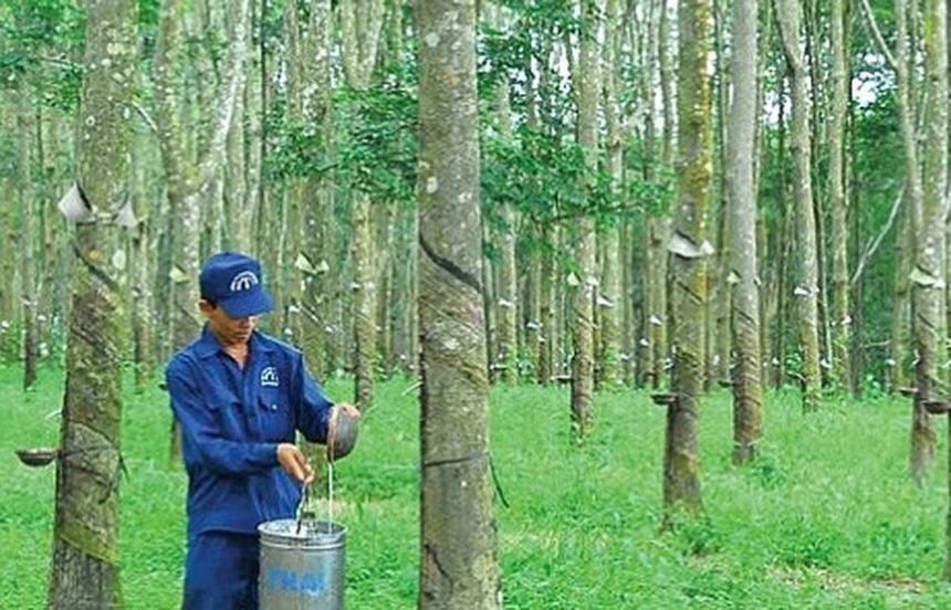 Cao su Đồng Phú (DPR) dự kiến thưởng cổ phiếu tỷ lệ 100%