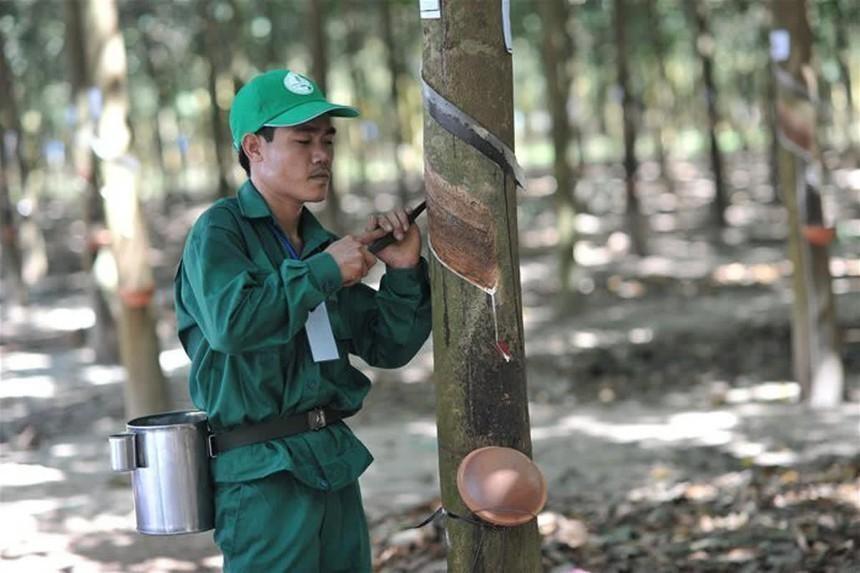 Tập đoàn Công nghiệp Cao su Việt Nam (GVR) chuẩn bị trả tổng 2.400 tỷ đồng cổ tức cho cổ đông