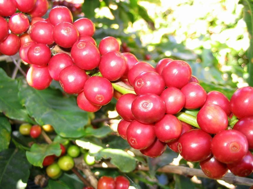 Nguồn cung suy giảm, giá cà phê có thể vẫn ở mức tương đối cao cho đến năm 2022