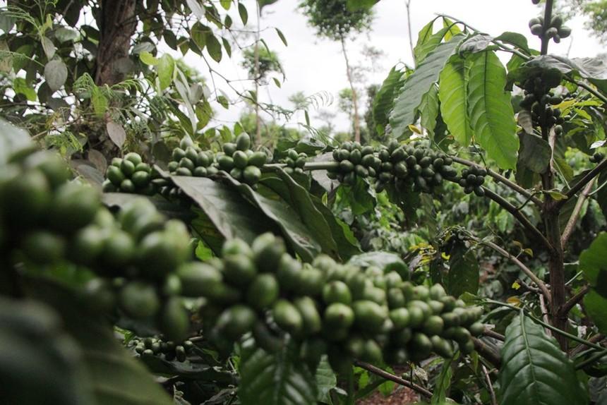 Cà phê Việt cần tăng cường chất lượng để đáp ứng yêu cầu của người tiêu dùng EU. Ảnh: L.S