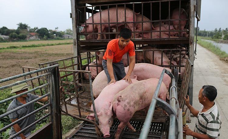 Giá lợn hơi chưa thể xuống dưới 70.000 đồng/kg