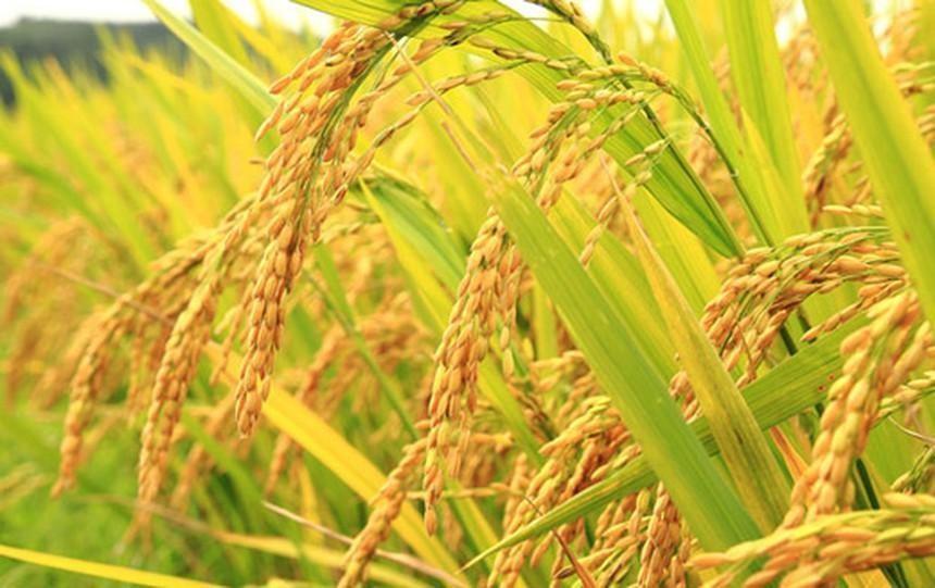 Giống cây trồng Việt Nam (NSC): Chi phí tăng cao, lợi nhuận sau thuế quý II giảm 16% xuống 65 tỷ đồng